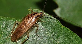Kakkerlak - Ongediertebestrijding A-spect