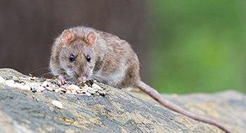 Rat - Ongediertebestrijding A-spect